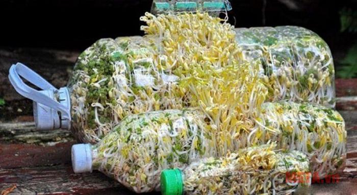Làm giá đỗ tại nhà bằng vỏ chai nhựa